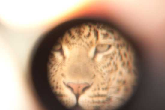 Leopard through the lens