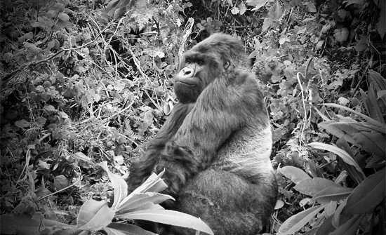 Gorilla VS Man