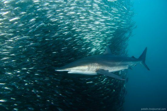 The Sardine Run is spectacular to witness