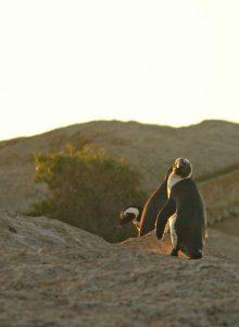 Manchots du Cap posant pour la photo à Stony Point