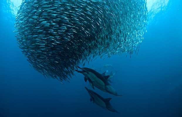 """""""Sardine Run"""" an der Küste Südafrikas"""