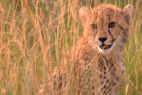A young cheetah waits for her mother on the plains of East Africa