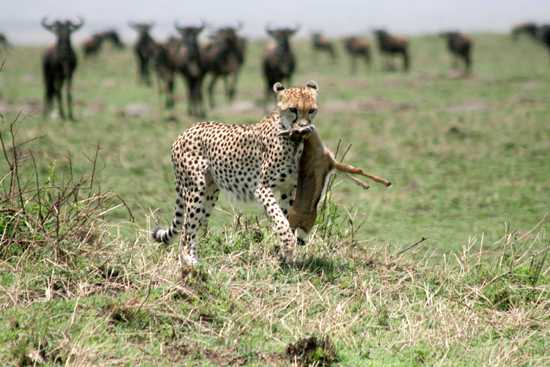 The Great Migration of East Africa is a predators favourite time of year