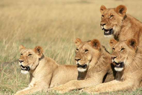 Four young lions watch their mother begin a hunt on the plains of East Africa