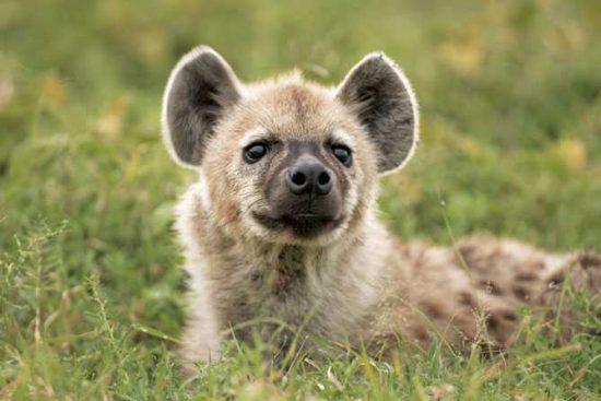 Hyena pup at Singita
