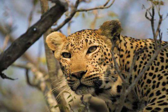 A gorgeous Sabi Sand leopard at Singita