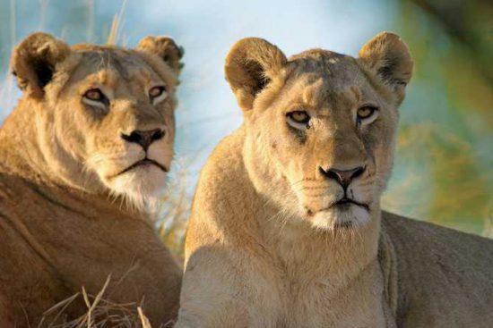 Singita's lionesses