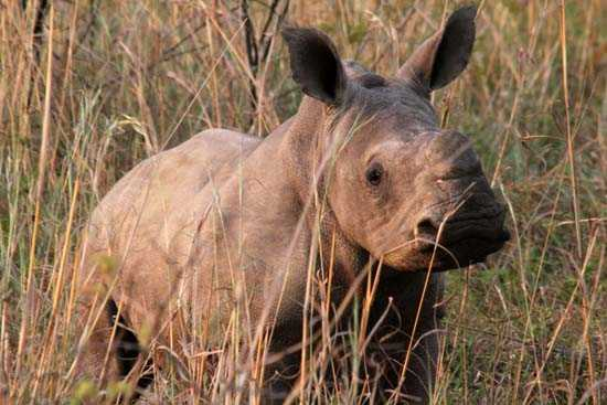 Contribue to saving this little rhino by participating in a conservation adventure
