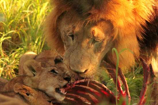 A rare occasion where a male lion on Phinda shares a meal with one of the youngsters