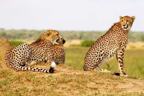 Cheetahs on the look out on the northern marsh of Phinda