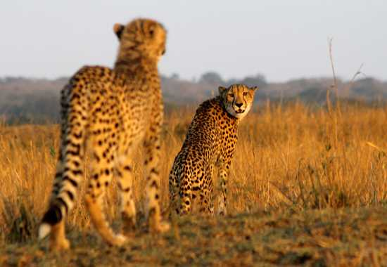 Phinda is famous for their abundance and quality of cheetah sightings