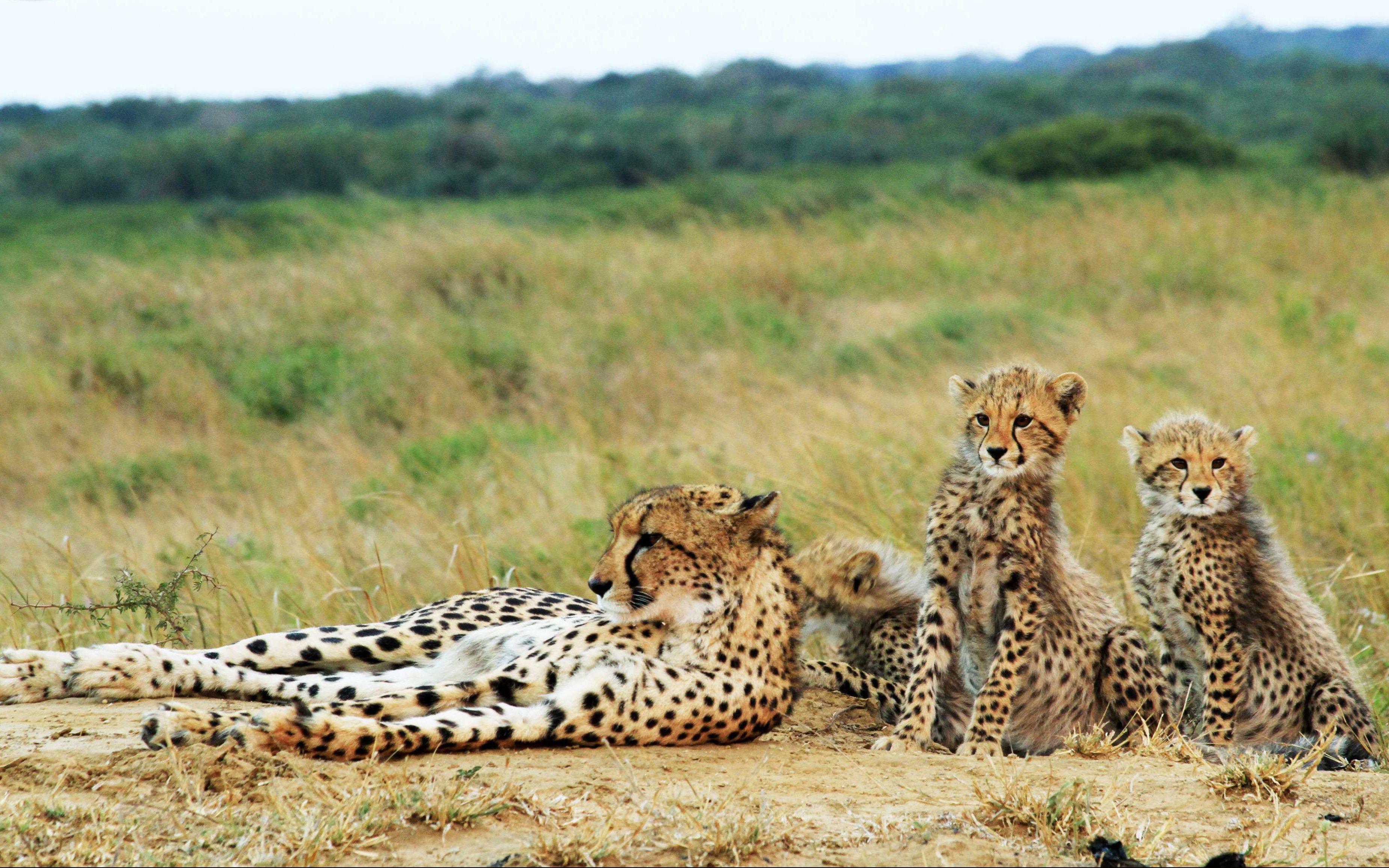 Los guepardos, vista casi asegurada durante tus safaris en Phinda.