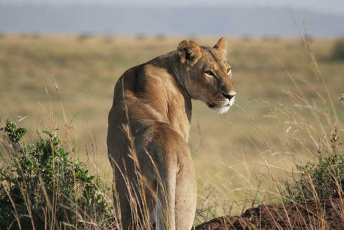 Eine jagende Löwin im Masai Mara in Kenya