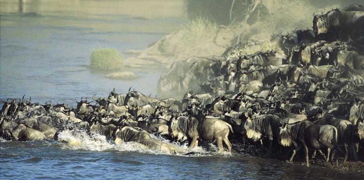 Die Große Migration in der Serengeti und Kenia