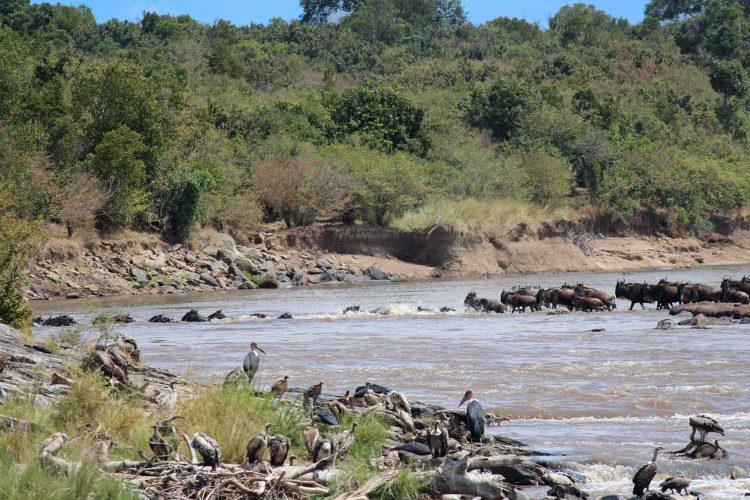 Flussdurchquerung im Masai Mara