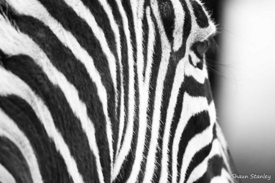 Close up of a zebra's stripes
