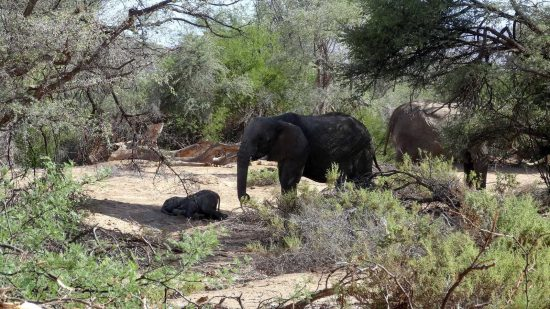 """Desert Elephants - """"This 5 month old baby just laid down, decided it needed a nap and fell asleep beside its mother."""""""
