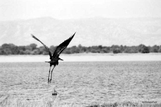 """""""A beautiful Goliath Heron fishing, then flying away."""""""