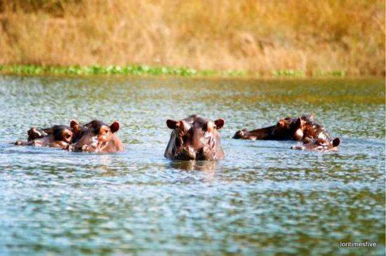 """Hippo welcoming committee on the Zambezi River."""