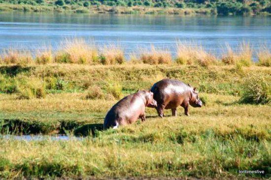 A pair of hippos   Mana Pools