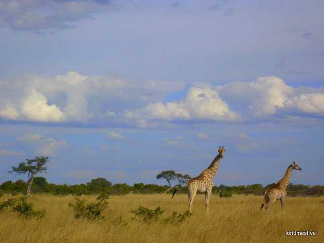"""""""Hwange Giraffe nodding hello."""""""