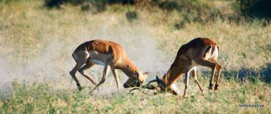 """""""Male antelope fighting for dominance, only one can be the head of a herd."""""""