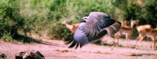 """""""We saw this gorgeous Martial Eagle fly by."""""""