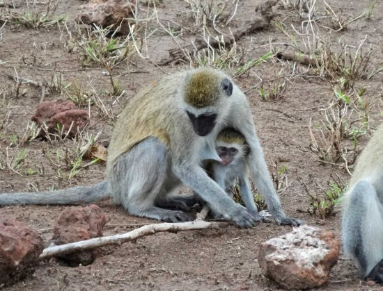 """Mother to baby – """" How many times must you be told to stop suckling before you move"""". - Lake Manyara"""