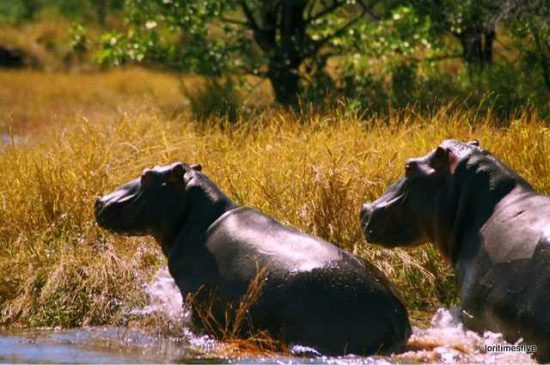 """""""The enormous speed and agility with which they picked themselves up and ran made it easy to see how they are one of the most dangerous animals in Africa, they are fast! And oh so powerful.""""   Lake Kariba"""