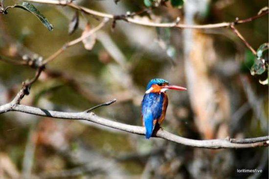 Malachite Kingfisher   Lake Kariba
