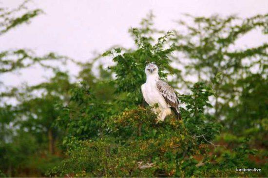 A hawk from the vantage point of the foliage  Lake Kariba