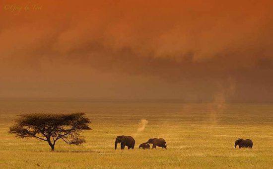 Um rebanho de elefantes atravessa as planícies do Serengeti