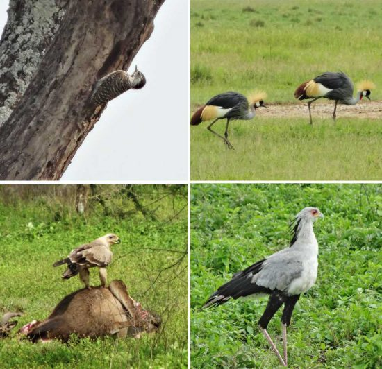 Just a few moments from our abundant (over 100) bird experiences, featuring: the Secretary bird, Woodpecker, Tawny Eagle, African Crane, Greater Flamingo