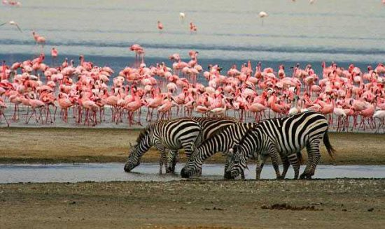 Zebras und Flamingos am Lake Manyara