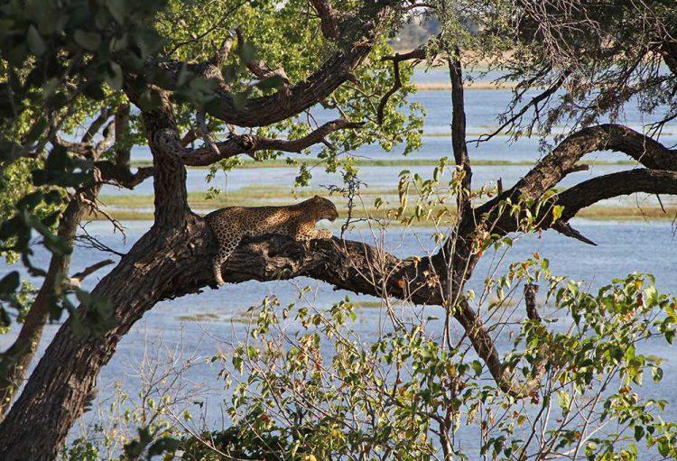 Leoparden im Chobe Chilwero Refugium