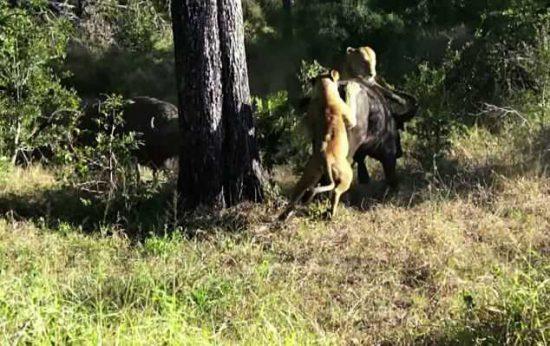 Buffalo Vs Lion at Londolozi
