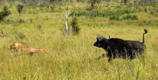 Lioness Sent Spinning During Buffalo Attack