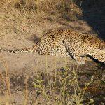 Leopard auf Safari in Londolozi