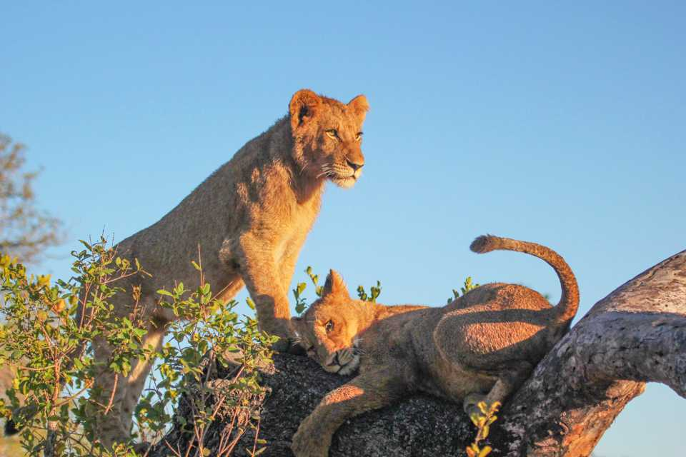 """The cubs playing around at Londolozi Founders Camp"""