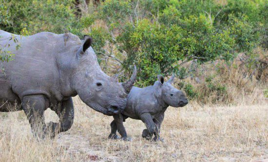 """Baby Rhino and his mom"""