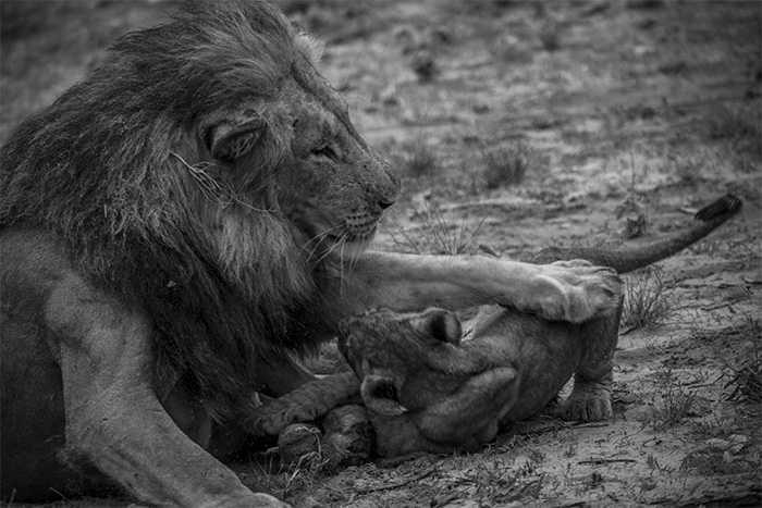 Lions of Zarafa