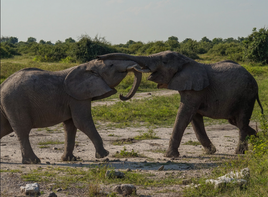Two elephants playfully jostle each other