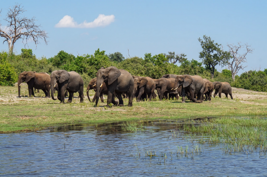 Herd of elephants near water