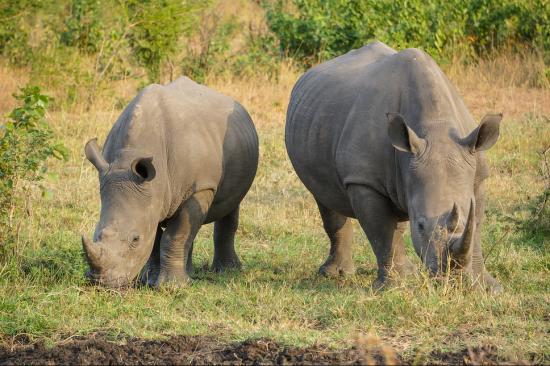 Two rhino