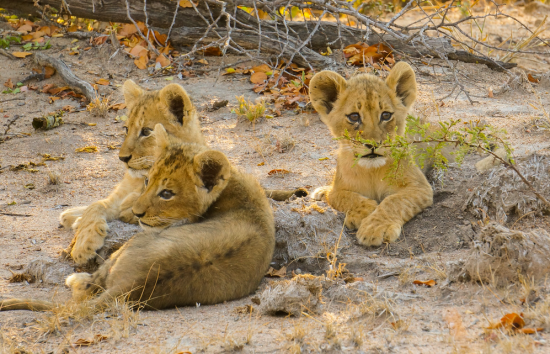 Cubs relaxing together