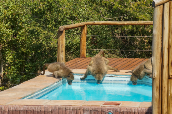 Thirsty band of baboons drinking from the swimming pool