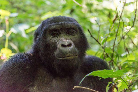 A gorilla makes eye contact