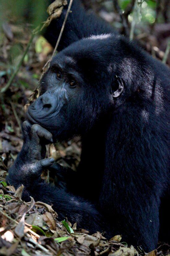 A thoughtful gorilla at Bwindi Impenetrable Forest