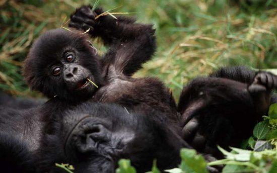 Baby-Gorilla mit Mutter im Regenwald in Uganda