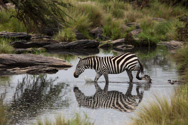 Zebra in Masai Mara